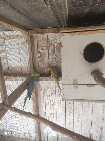 Sprzedam papugi Aleksandrety Obrożne różnego koloru