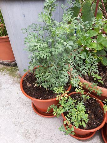 Planta Arruda  b