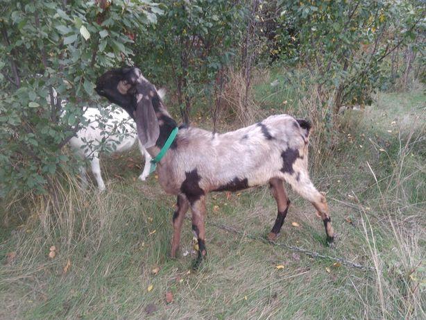Покрытие коз 100% англонубийским козлом