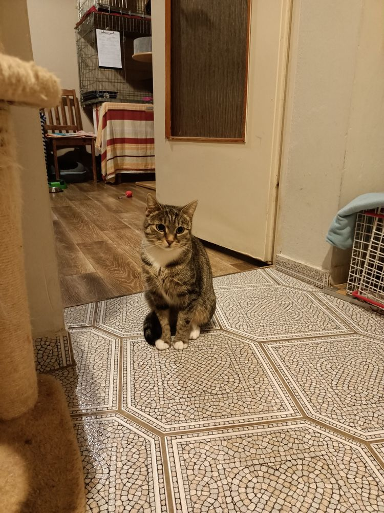 Piękna nieśmiała kotka - Szaraczkowa