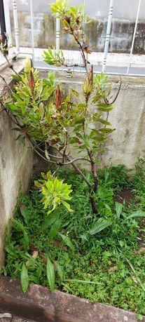 Árvore de protea branca