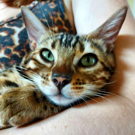 Продам клубную бенгальскую кошечку
