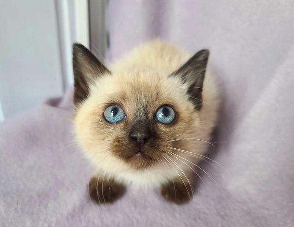 Малыш Ларик, котёнку всего два месяца, сиамский ребёнок
