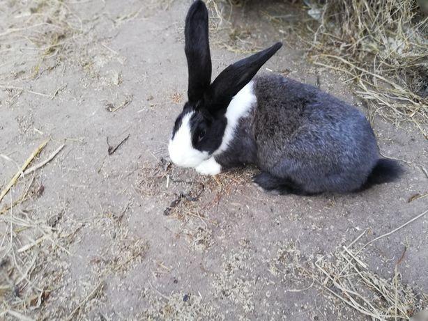 Tuszki królicze.