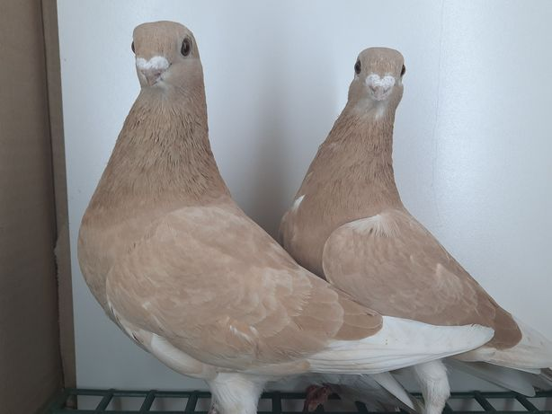 Gołębie orzełki polskie, belgijski, antwerpski.