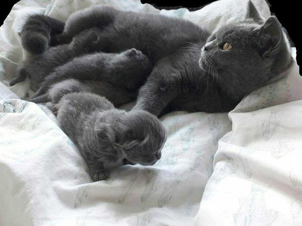 Kotki Brytyjskie Niebieskie