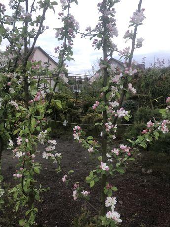 Rajska jabłoń Golden 250cm