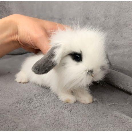 Карликовый миниатюрные декоративные вислоухие и торчеухие кролик
