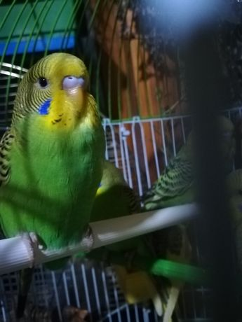 Мальчик, самец, молоденький волнистый попугай.