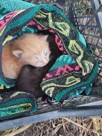 Котята бесплатно в хорошие руки: рыжик и черныш..масики