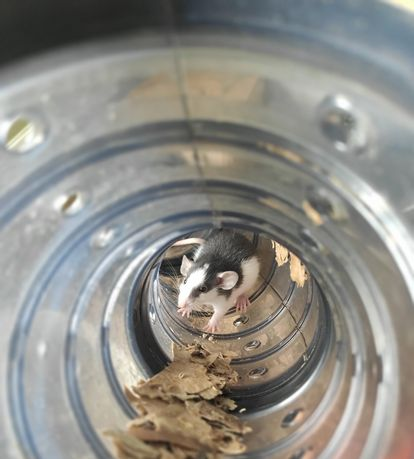 Szczury samce samice