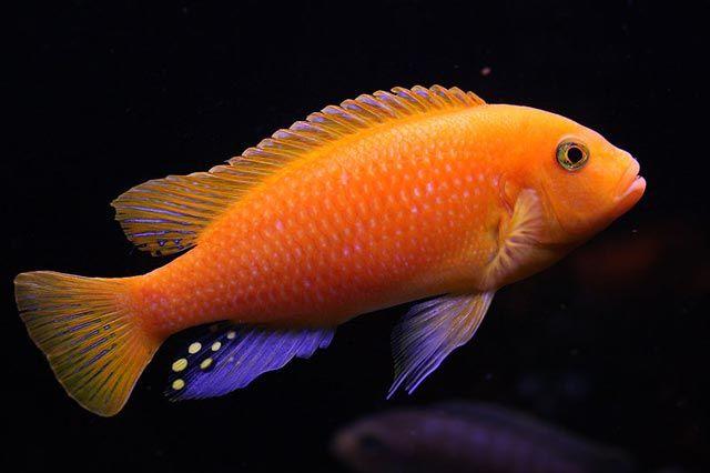 Rybki pyszczaki Metriaclima astherae red-red