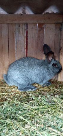 Продам кроликов Европейское серебро