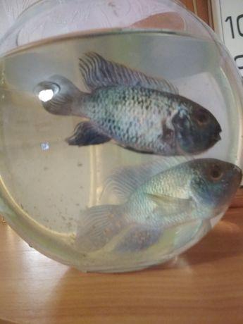 Аквариумная рыбка - Акара