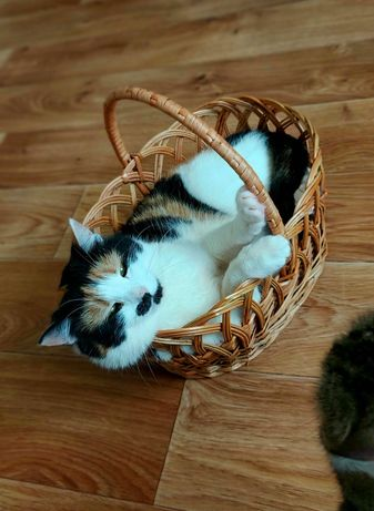 Трехцветная кошка Киса