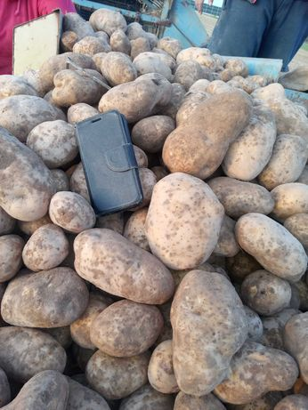 Ziemniaki jadalne Denar/Lord