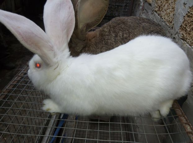 кролики   фландр. и др