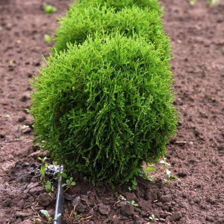 Хвойные растения: туи, можжевельники грунт