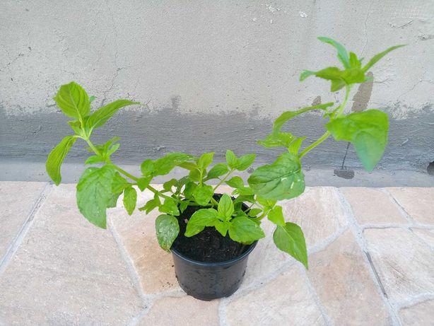 Hortelã Pimenta - Plantas Aromáticas
