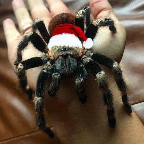 Самка паука птицееда Nhandu chromatus