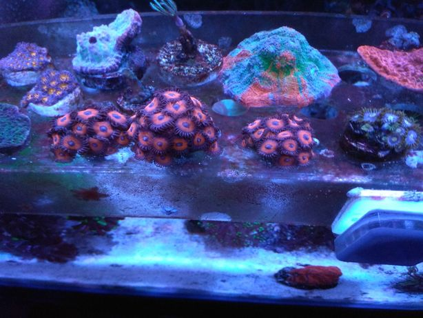 Koralowce szczepki akwarium morskie