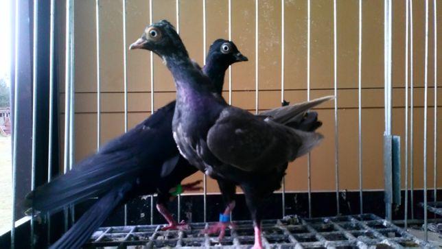 Wiedeńskie , gołębie ozdobne