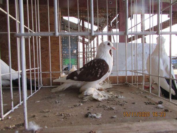 saksonski dwuczuby samica, saksońskie dwuczube, gołębie ozdobne