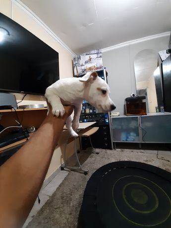Lindo jack russell terrier