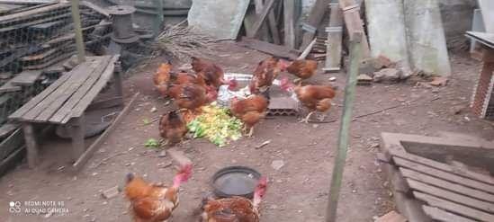 Vendo galos, galinhas e patos