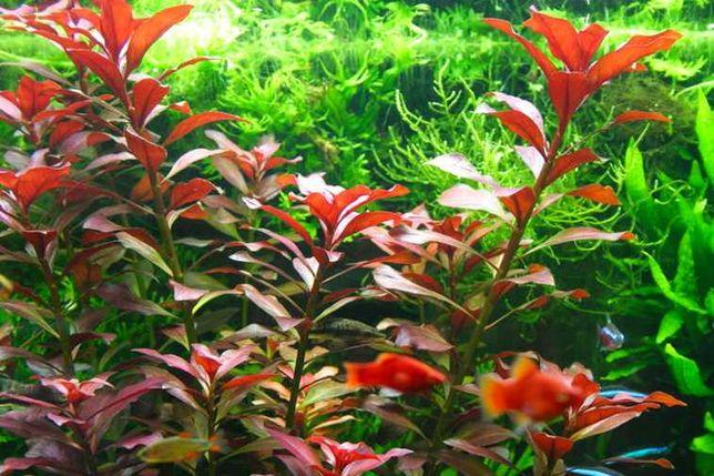 Ludwigia Glandulosa (vermelha) . Plantas . Aquário