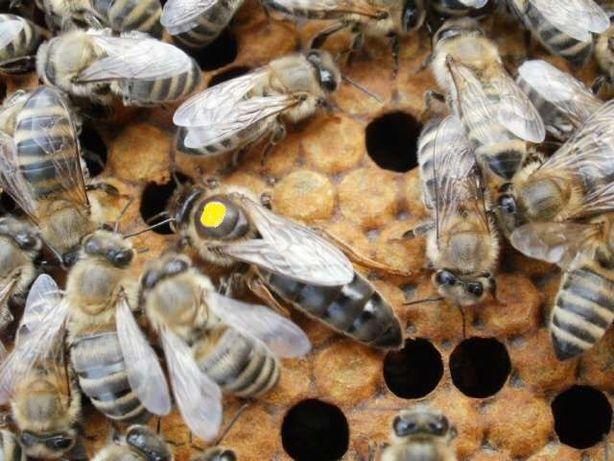 Бджоломатки КАРНІКА, КАРПАТКА Плідні матки 2021 року Пчеломатки