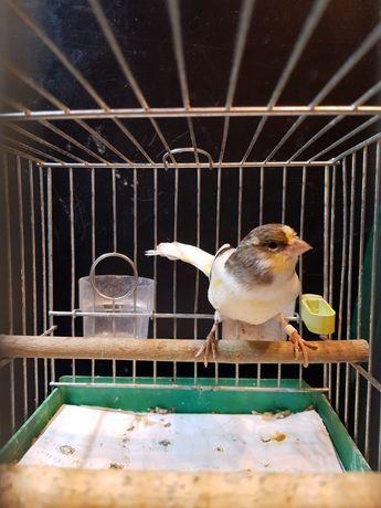 Kanarek Samica Nr 20 Wysyłam ptaki kurierem