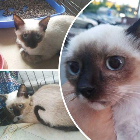 Сиамские котята - девочки, 4-5 мес, котенок, кошка