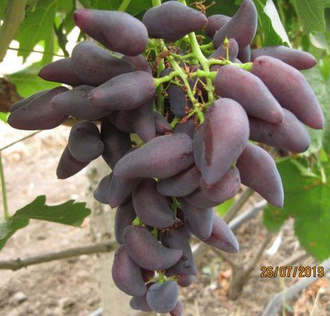Саженцы винограда с доставкой из питомника в Одессе на осень 2021г.