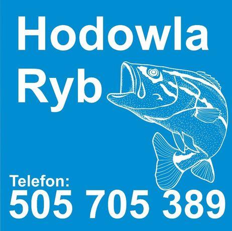 Sprzedaż pstrąga świeżego na Hodowli Ryb, pstrąg
