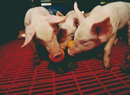 Gryzak zabawka dla świń z łańcuchem, 75 cm