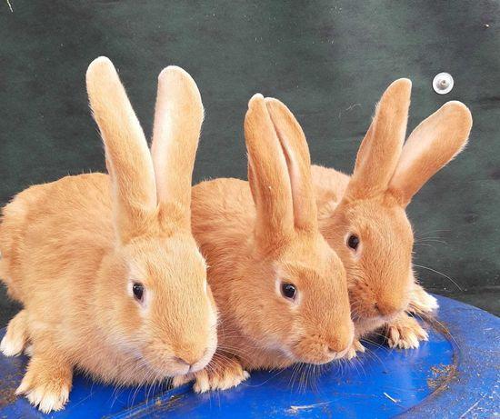 króliki burgundy, wiedeńskie, nowozelandzkie i termondzkie