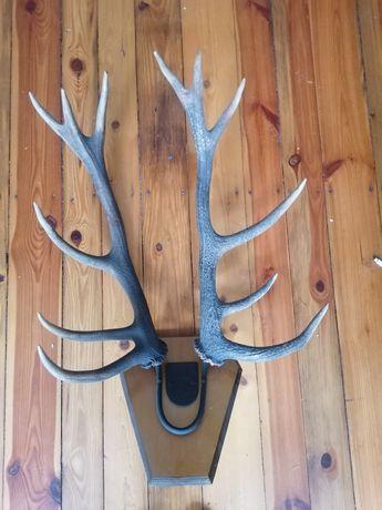 Dwa duże poroża jelenia