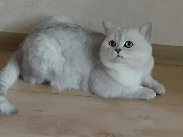 Вязка.Шикарный кот
