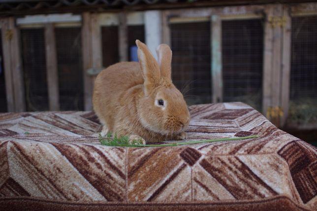 Кролик Бургундський