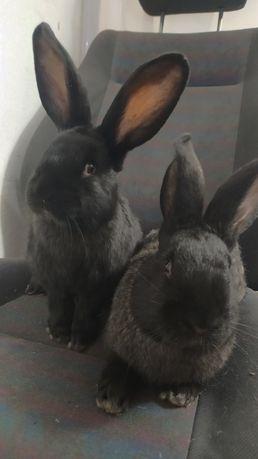 Sprzedam 2 króliki samce