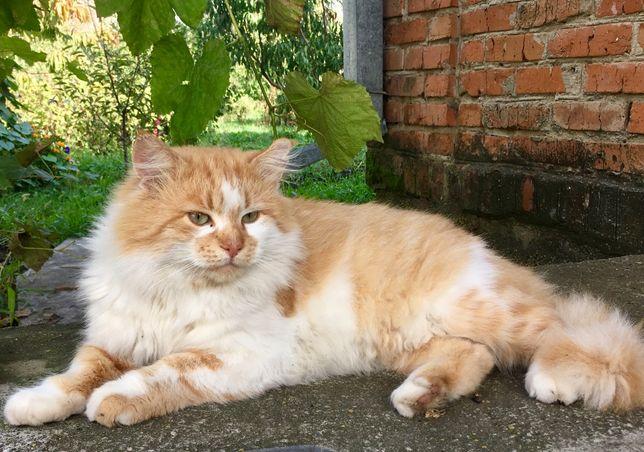 Кот рыжий, пушистый, молодой