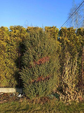 Krzew ozdobny do ogrodu bonzai jałowiec duży