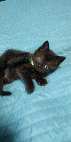 Чёрные котята скоттиш страйт шотландские прямоухие девочки и мальчики