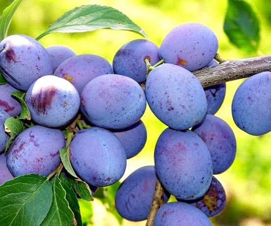 Drzewka owocowe DUO Śliwa Węgierka zwykła + Śliwa Cacanska Lepotica