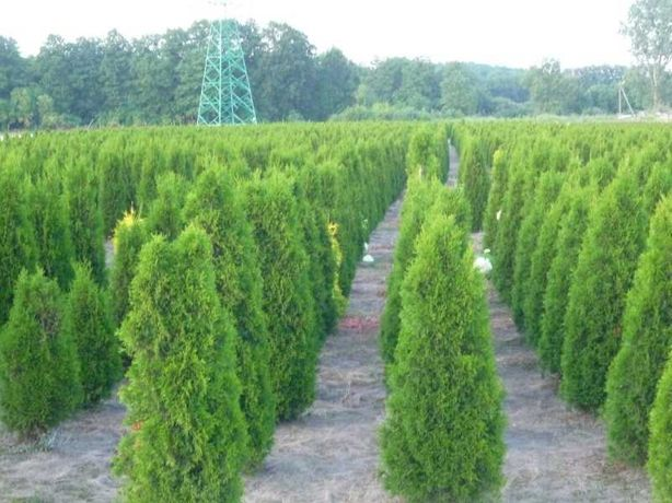 Tuja szmaragd 180-200 cm Thuja smaragd Dostawa gratis Wadowice FV