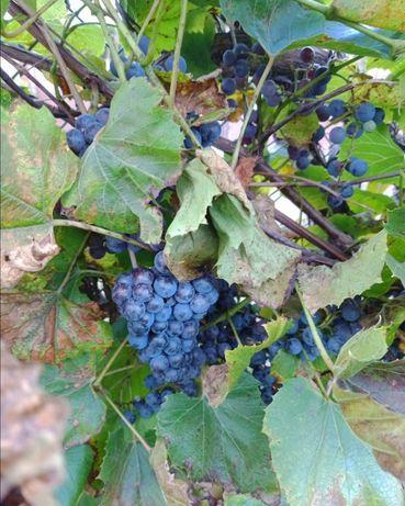 Winogrono ciemny na wino lub sok
