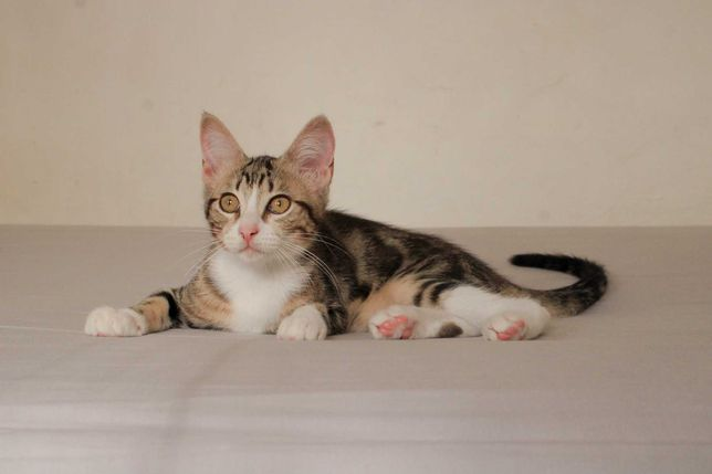 Nissa - gatinha bebé para adoção