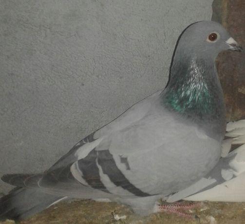 продам поштові голуби