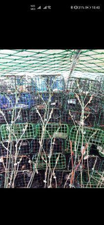 1000 Covos de pesca para o polvo